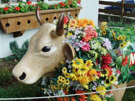 New Glarus Cow