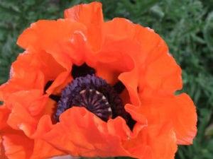 Stoughton flower in full bloom