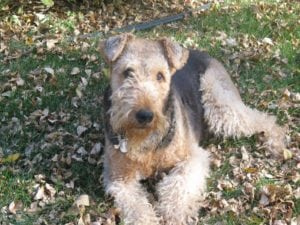 picture of Molly the Airedale