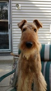 Tessy the Airedale